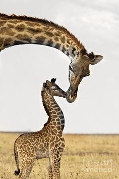 Giraffes First Kiss Fine Art Print - Carol Walker