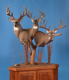 Revolution Taxidermy Supply S Mount Position Poster Deer