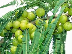 Indian Amla-Gooseberry-Emblica Officinalis-Ornamental Qualities-F1- 20 Seeds