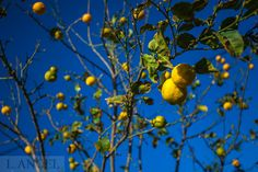 lemon; lemon tree; tree; plant; blue sky; fruit Tree Tree, Santorini Greece, Lemon, Sky, Fruit, Plants, Blue, Heaven, Heavens