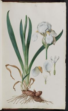 141058 Iris germanica L. [as Iris florentina L.]  / Sibthrop, J., Smith, J.E., Flora Graeca (drawings), vol. 1: t. 39 (1806)