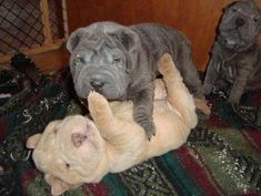 China Skye Shar-Pei has been breeding quality bluelined Shar-Pei puppies since 1997