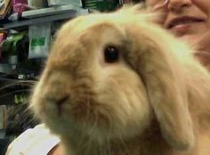 #conejo #veterinario #belier #conejo #veterinario www.veterinarioexoticos.com