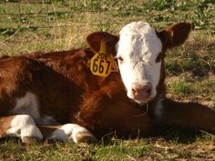 hereford cattle - Google Search