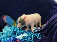 We have the world's smallest teacup pigs for sale, find the perfect teacup piglet we also offer to finance and will ship the micro piglets to an airport near you. Tiny Pigs, Small Pigs, Pet Pigs, Teacup Pigs For Sale, Mini Pigs For Sale, Guinea Pig Toys, Guinea Pig Care, Guinea Pigs, Teacup Piglets
