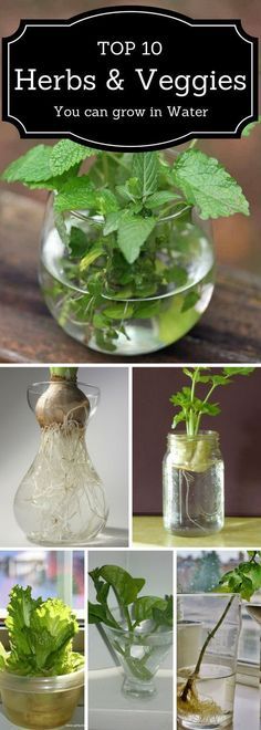 Top 10 Herbs and Veggies You Can Grow in Water : topinspired #HomeHydroponics