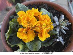 Blooming orange spring primulas in flower bed - stock photo