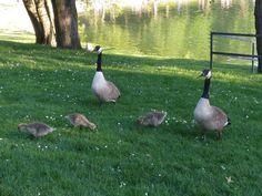 Ab heute werden die Baggerseen wieder gut besucht sein. ������ Aber gestern war auch schon ganz schön was los.���� Mit dem Handy aufgenommen.  ______________________________  #ThomasGPhotography  #schweinfurt #baggersee #see #geese #nature #naturelovers #wildgänse #goose #wildlife #animal #gänseblümchen #wasser #baden #sonnenschein #sonne #wochenende  #landschaft #landscape #landscapelovers #outdoors #nature #walking #light #traumhaft #goodday #travel  #ausruhen  #pause #chillen…