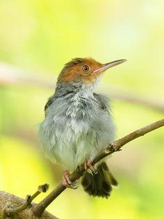 Tailorbird - SYLVIIDAE