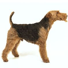 Airedale Terrier - Blue Dog Breed profile