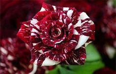 Tiger Striped Hybrid Rose - So beautiful!