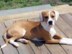 Boxer Beagle Mix - This page contains info and a picture of a Boxer Beagle. A beautiful dog with a color of a Boxer and a Beagle & surprisingly white ears. Boxer Pit Mix, Pitbull Boxer Mix, Boxer Mix Puppies, Beagle Dog, Husky Puppy, Cute Puppies, Dachshund, Cute Dogs, Dogs And Puppies