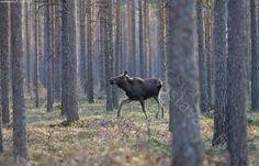 Kuva: Hirvi kangasmetsässä - Alces alces eläin eläinkuva hirvi ...