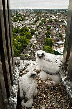 Peregrine falcon (Falco peregrinus) chicks at nest on building, London.Picture: Bertie Gregory/2020VISION / Rex Features