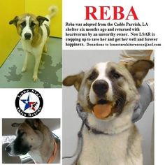 Reba is patiently waiting for her furever home.