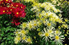 京都フォト通信: 肥後菊 Kyōto Botanical Garden, Sakyō-ku, Kyōto Fujifilm Finepix X100 京都府立植物園(京都市左京区下鴨半木町)