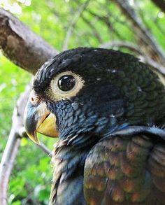 Baby Pionus Parrot (possible bronze wing) Pretty Birds, Love Birds, Beautiful Birds, Animals Beautiful, Exotic Birds, Colorful Birds, Conure, Parrots, Bird Feathers