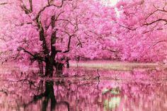 the gorgeousness of cherry blossom trees sits well with me :) Beautiful World, Beautiful Places, Beautiful Pictures, Pink Trees, Blossom Trees, Cherry Blossoms, Pink Blossom, Belle Photo, Beautiful Landscapes