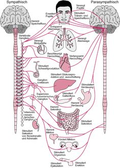 Overview of the Autonomic Nervous System - Brain, Spinal Cord, and Nerve Disorders - MSD Manual Consumer Version Brain Anatomy, Medical Anatomy, Human Anatomy And Physiology, Body Anatomy, Nerve Anatomy, Autonomic Nervous System, Nursing Notes, Medical Science, Science Education