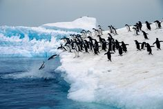 penguins diving off iceberg