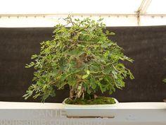 fig carica bonsai | Bonsai Asociacion Irta. Higuera o Ficus Carica - CBALICANTE