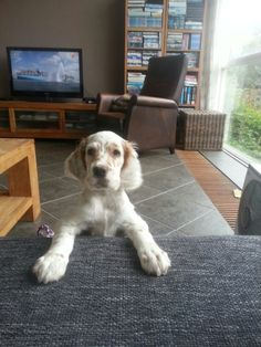 Morning! - Charley our English Setter Pup