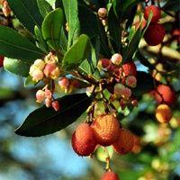 Vijver en Tuincentrum Pelckmans: Arbutus unedo of aardbeiboom