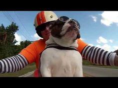 Sweets, le chien motard qui fait signe aux motards