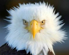 I'm thinking even eagles have bad hair days.