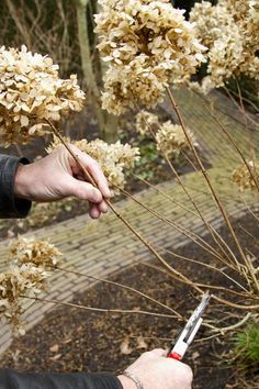 De pluimhortensia bloeit op de takken die van het voorjaar gevormd worden. Je kunt een pluimhortensia snoeien in de winter, maar wacht liever tot februari.
