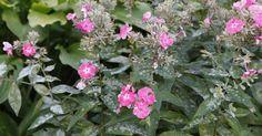 Weiße und graue, pelzartige Beläge auf Phlox sind meist ein Anzeichen für den bekannten Mehltau-Pilz. Wir verraten Ihnen, wie Sie einem Mehltau-Befall vorbeugen und den Pilz bekämpfen können. Clematis, Tips, Flowers, Plants, Outdoor, Gardening, Detail, Happy, Mascarpone