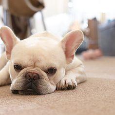 散歩したいのかな #フレブル #フレンチブルドッグ #buhi #ブヒ #frenchbull #frenchbulldog