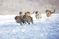 Siberian tigers charging at their prey