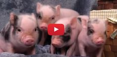 Watch What These Smart Piglets Do When They See A Dog For The First Time! I Love Them!