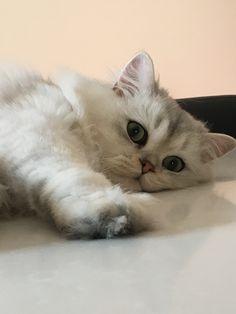 British Longhair cute cat