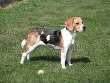 Beagle Faraon.JPG
