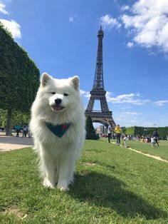 """""""Rating of Pawris 🇫🇷: bonejour wow, such romance, wee wee, very accent, much borkguette 🥖"""" Cute Little Puppies, Cute Little Animals, Baby Puppies, Baby Dogs, Cute Puppies, Dogs And Puppies, Funny Animal Memes, Funny Dogs, Funny Animals"""
