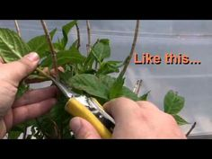 How to prune a hydrangea in the Spring.