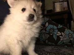 Faith is a little sweetie. Already so smart! Spitz Breeds, Husky, Faith, Dogs, Animals, Animales, Animaux, Pet Dogs, Doggies