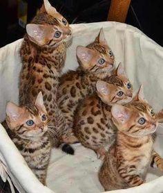 Bengal - O gato mais lindo do mundo, fotos com filhotes! O gato-de-bengala, ou Bengal,