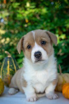 #WelshCorgi #Pembroke #Charming #PinterestPuppies #PuppiesOfPinterest #Puppy #Puppies #Pups #Pup #Funloving #Sweet #PuppyLove #Cute #Cuddly #Adorable #ForTheLoveOfADog #MansBestFriend #Animals #Dog #Pet #Pets #ChildrenFriendly #PuppyandChildren #ChildandPuppy #LancasterPuppies www.LancasterPuppies.com Welsh Corgi Puppies, Pembroke Welsh Corgi, Little Puppies, Puppies For Sale, Lancaster Puppies, Great Friends, Mans Best Friend, Puppy Love, Pets