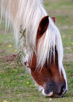 New Forest pony grazing.