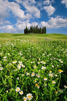 Daisies on Cypress Hill, San Quirico d'Orcia, Tuscany, Italy, province of Siena