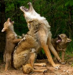 Yet again, someone thinks a coyote is a wolf. This bother me so much. It's not even hard to tell the difference, especially with a howling coyote. Animals And Pets, Funny Animals, Cute Animals, Wild Animals, Party Animals, Nature Animals, Beautiful Wolves, Animals Beautiful, Beautiful Things