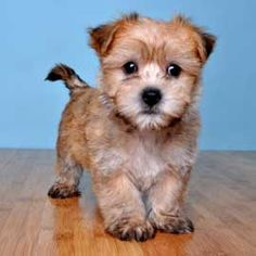 Adorable morkie puppy
