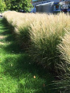 Kere okrasne travy na zahradu