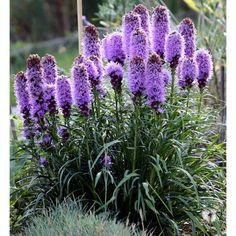 Purple Perennials, Purple Plants, Flowers Perennials, Planting Flowers, Tall Flowers, Lavender Flowers, Cut Flowers, Purple Flowers, Flowers That Attract Butterflies