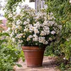 Masses of small flowers produced almost continuously until the first frosts. Buy Kew Gardens from David Austin with a 5 year guarantee and expert aftercare. Kew Gardens, Beautiful Roses, Beautiful Gardens, Deadheading Roses, Rose Hedge, Rose Delivery, Rose Care, Shrub Roses, David Austin Roses
