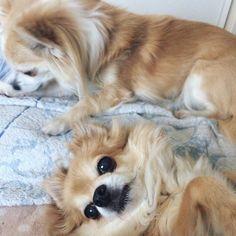 オレここにいるよ なでていいよ  いま間に合ってますというと寂しそうなのでなでる  #dekachiwa #chihuahua #dog #チワワ #ふわもこ部 #chihuahuaofinstagram