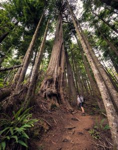 Tall trees (Vancouver Island, BC) by James Wheeler